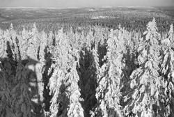 Skogsparti ved Tryvannshøyden.