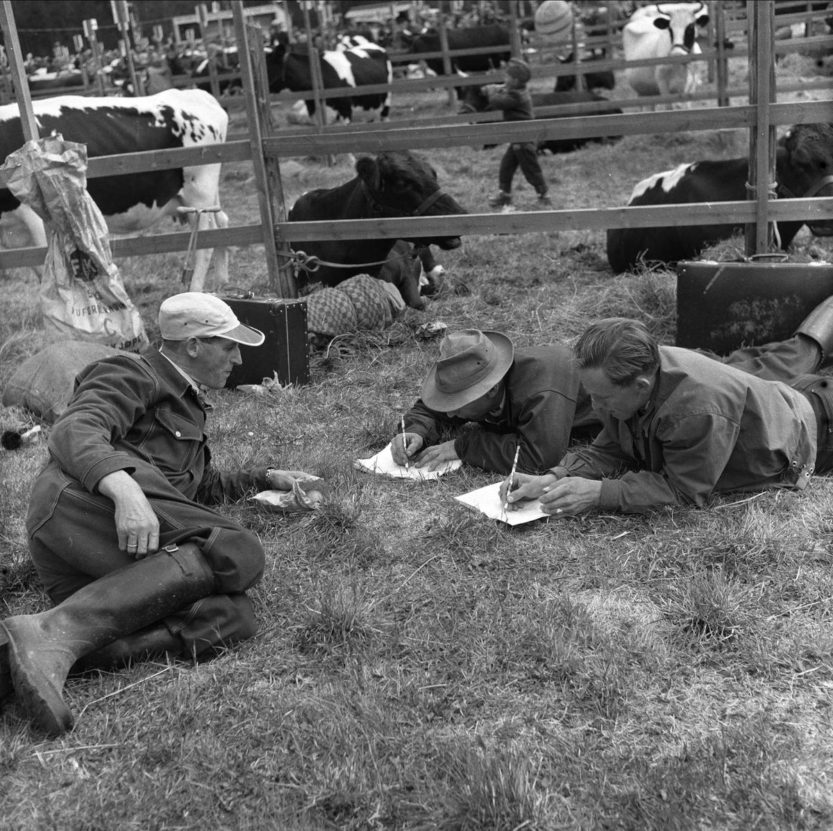 Tolga, Hedmark, 14.08.1958. Fesjå. Menn og kuer ligger på bakken.