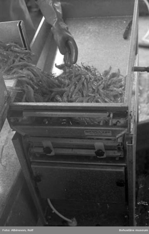 """Enligt fotografens noteringar: """"Den rena räken går i sorteringsmaskinen där råräken avskiljs och går ner i lastrummet. Kokräken går i korgen på däck i väntan på kokning.""""  Fototid: 1996-03-06."""