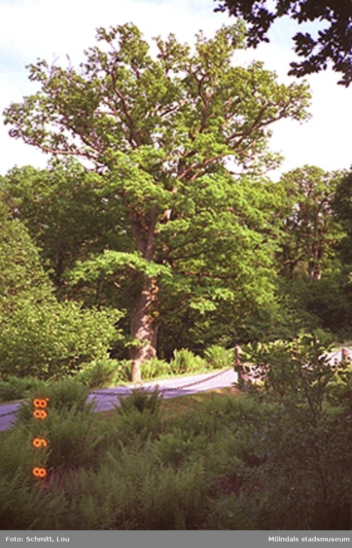 Ett träd som står i Gunnebo slottspark. Runt omkring står ganska höga buskar samt en smal grusad promenadstig.