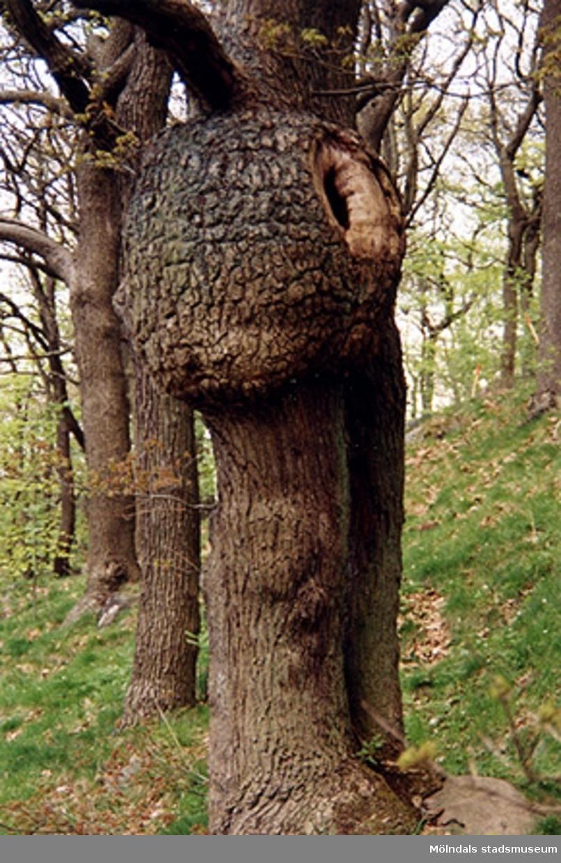 En ovanlig (sjuk) trädstam i Lackarebäcksskogen.
