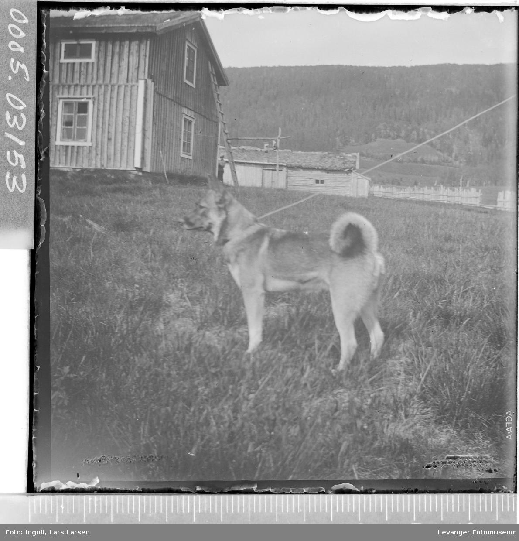 Elghund i bånd på et gårdstun.