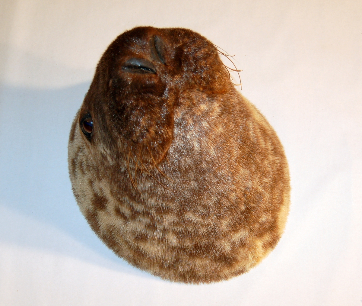 Preparatet er av hode med hals på en Hettekall, (Klappmyssfamilien) kappet fremfor sveivene og montert på en plate av kryssfiner.