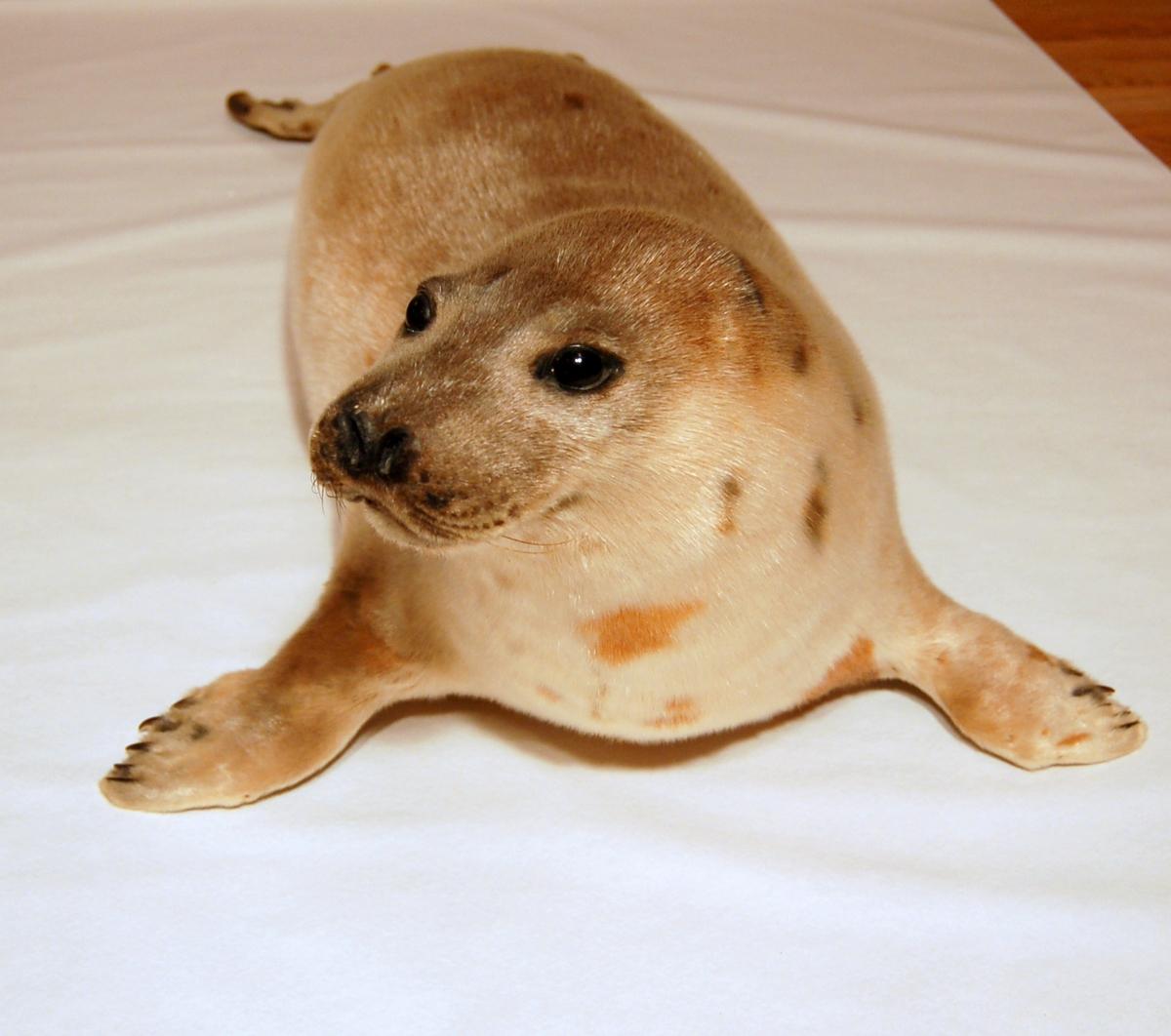Brunselen er lysebrun i pelsen og med svart hode og rygg, med mørkere brune flekker over ryggen og på sidene. Dyret er utstoppet i liggende stilling.