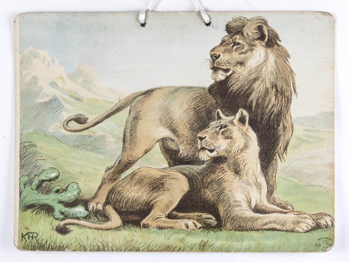 Skoleplansje, naturfag. Illustrert på begge sider, forestiller tiger med bytte (Nr. 103) og løvepar (Nr. 102).