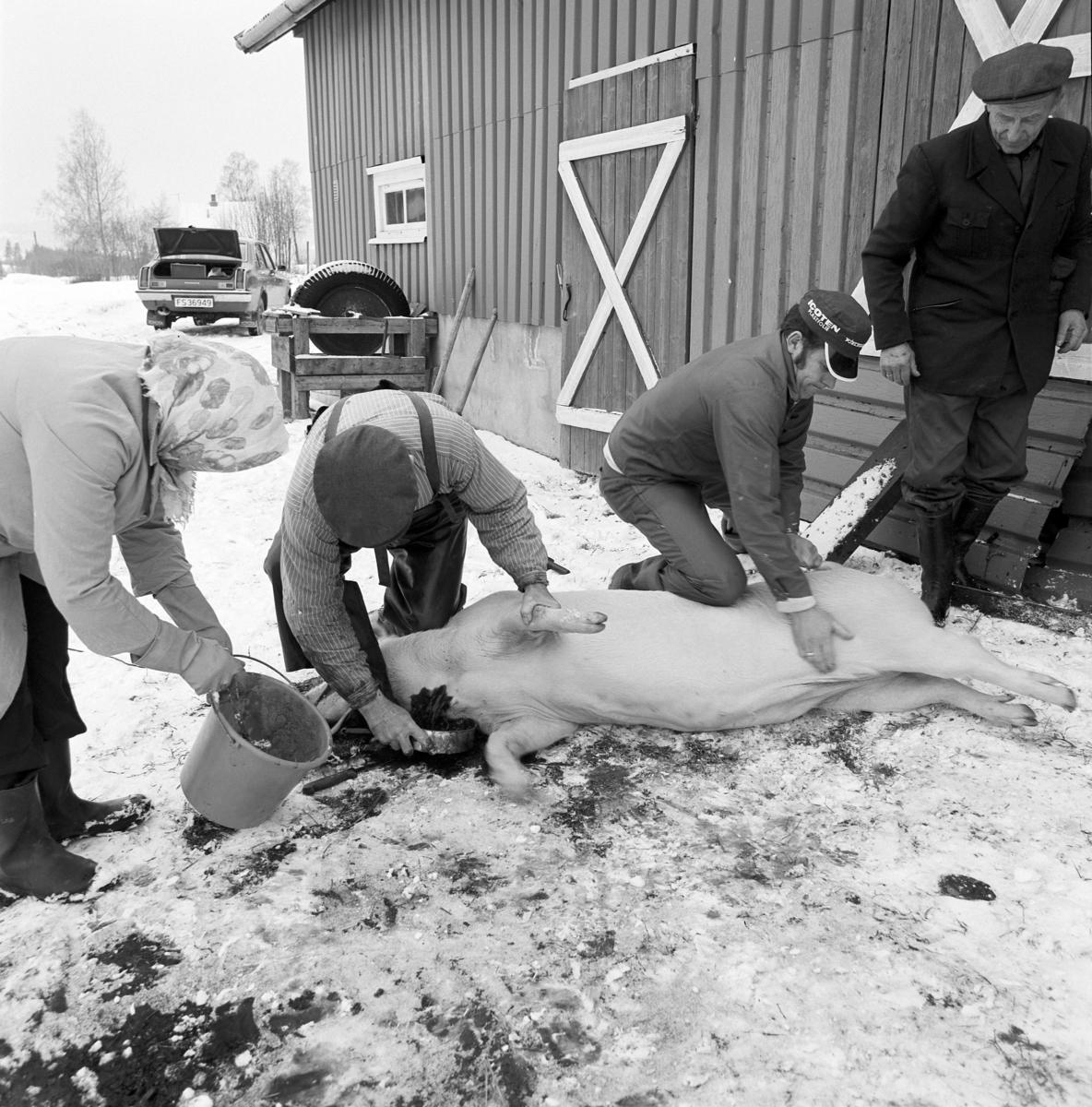 Dokumentasjon av griseslakting i 1977, på Lunde i Gaupen, Ringsaker. Bygdeslakter. Oppsamling av blod. Bygdeslakter Johs. Rosenborg.