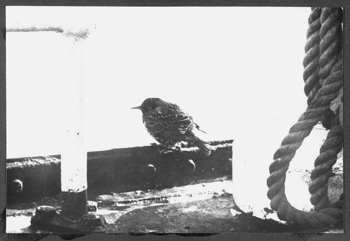 "Ombord i ""Polarbjørn"". En fugl sitter på rekka."