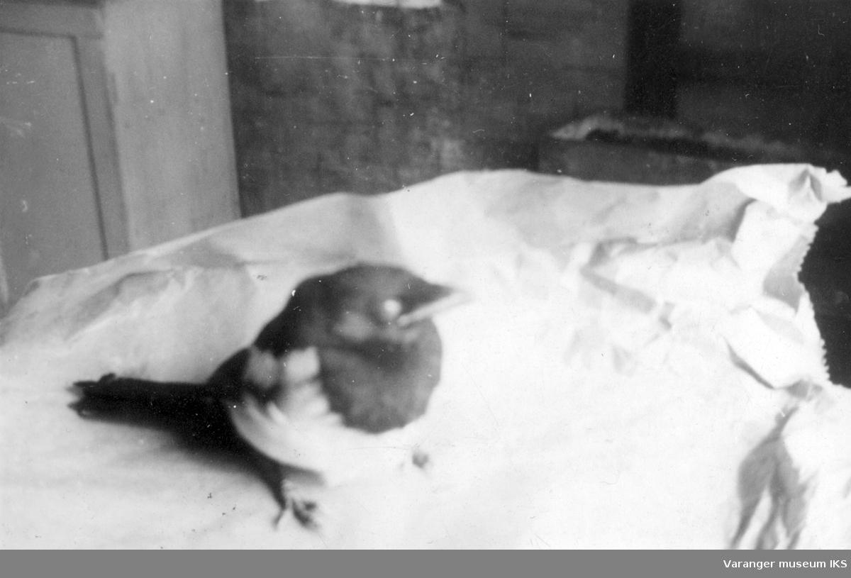 Tam skjære hos familien Riesto i Vadsø. Bildet er antageligvis tatt før storbombingen i august 1944.