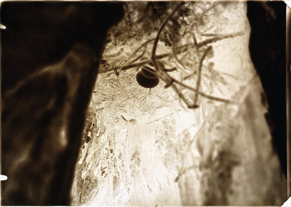 Skogsduva, bo av hålduva