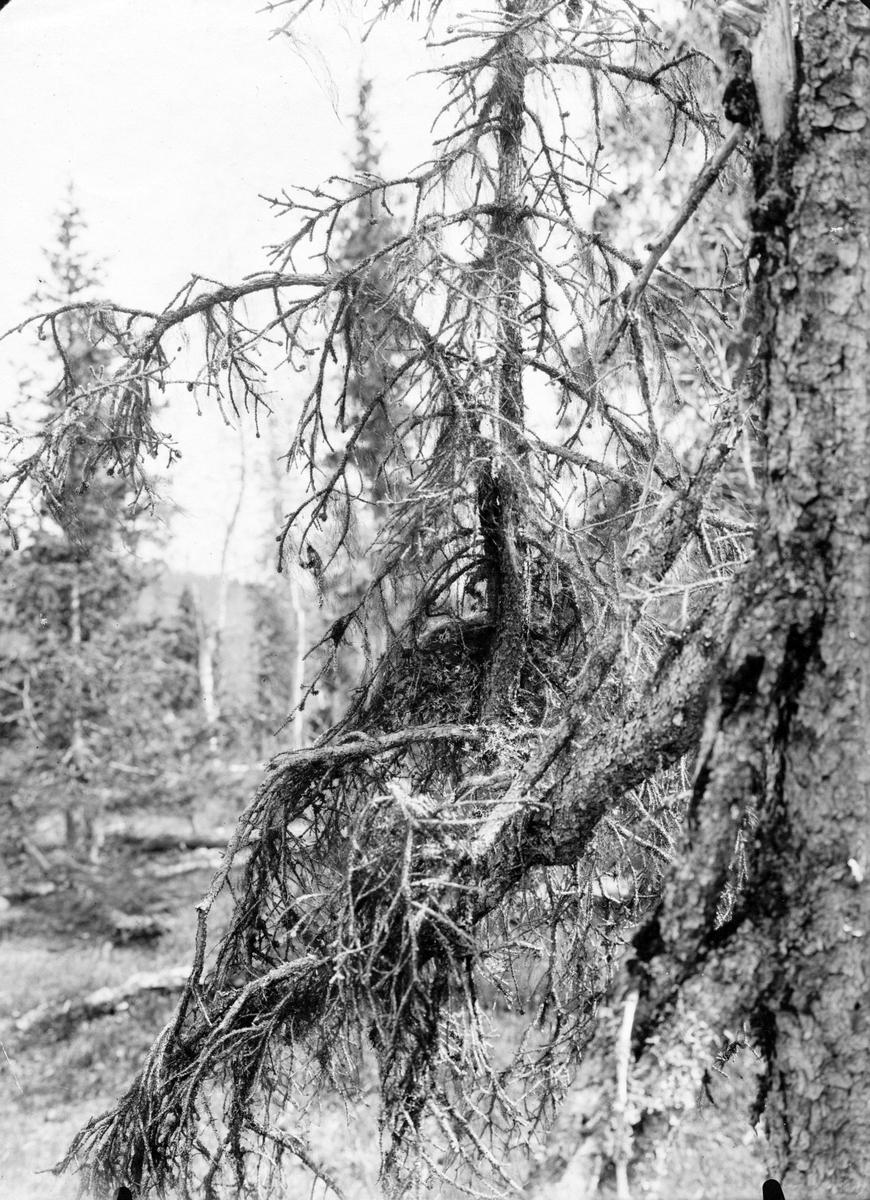 Boplats Bergfink, Fringilla montifringilla 17 juni 1909