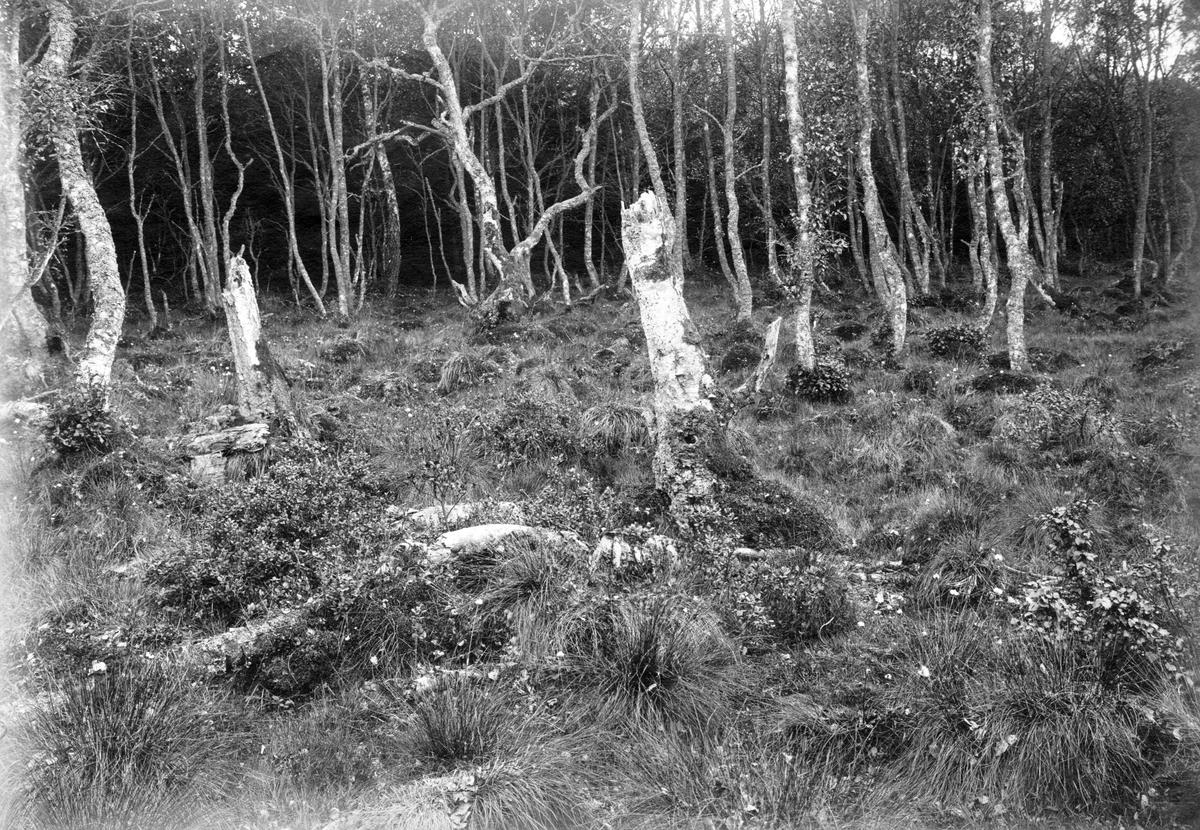 Boplats för Muscicapa atricapilla, 15 maj 1918