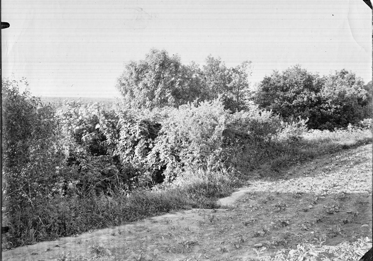 Biotop för gulbröstad sångare, Sylvia hippolaria 16/6 1910