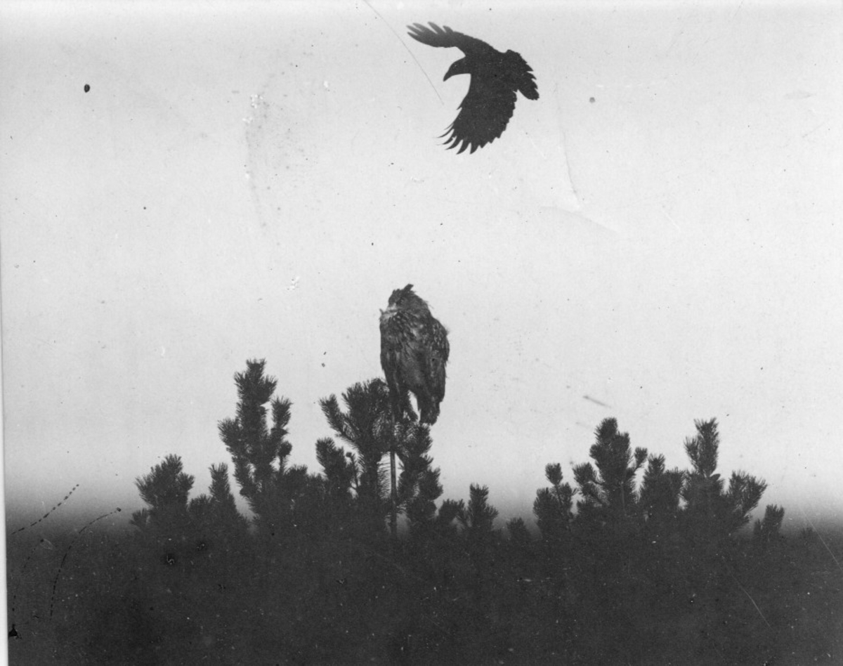 Berguv, Bubo b. bubo tillsammans med kråka, 1921