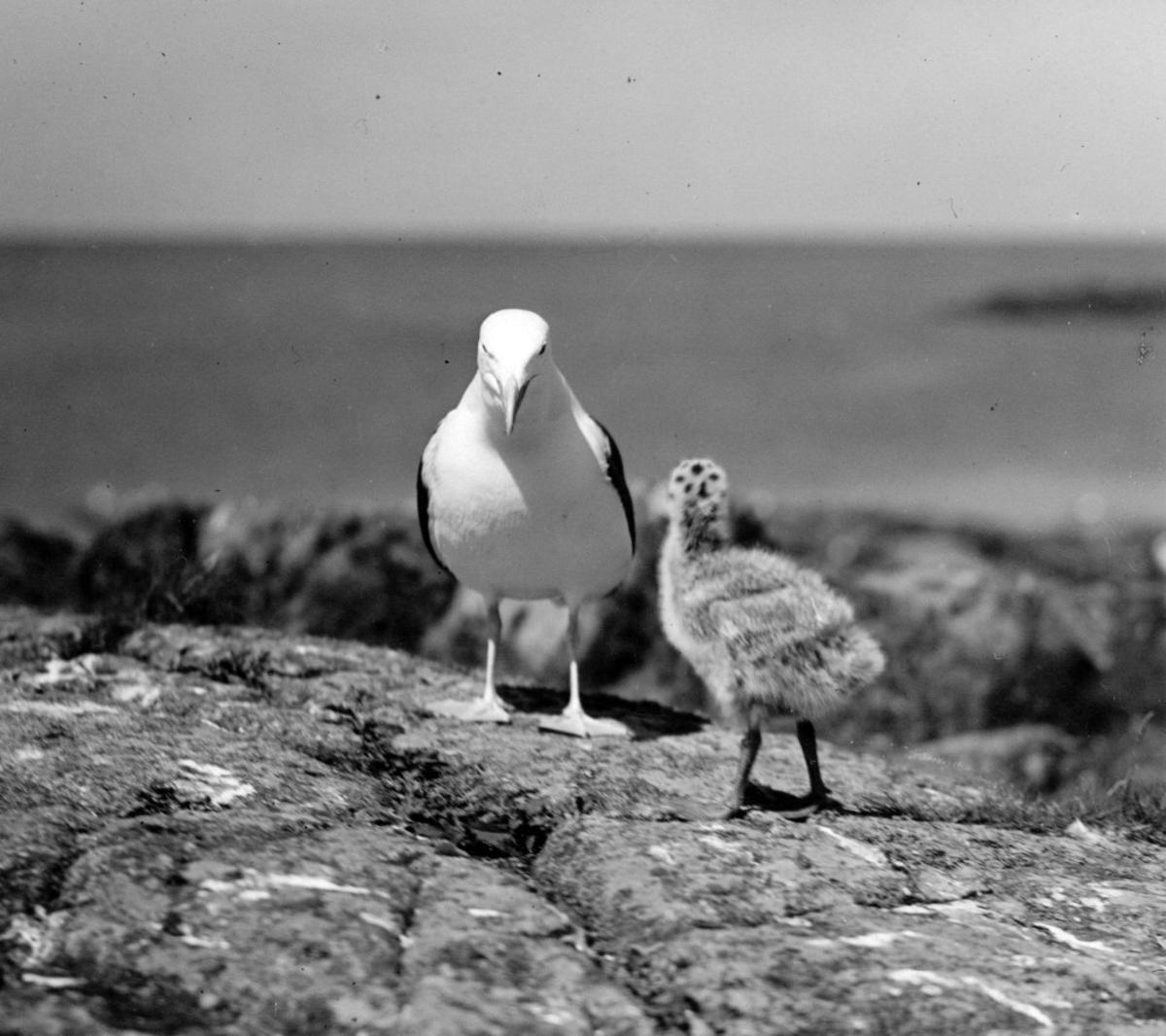 Havstrut, Larus Marinus, 1 juni 1930