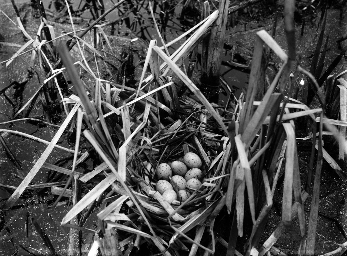 Fågelbo med ägg av rörhöna (Gallinula c. chlóropus) 1915