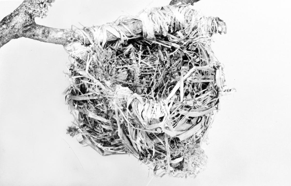 Bo av Sommargylling(Oriolus oriolus)