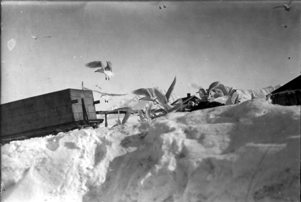 Slede med kasse t.v. Fugleflokk, måker. Litt av to hus sees bak. Snø på bakken.