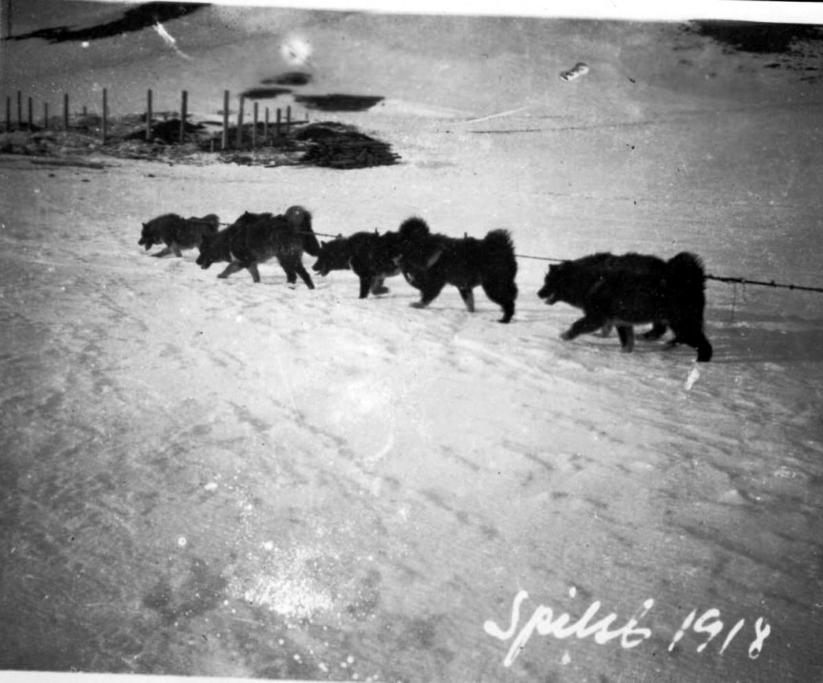 Hundespann, Bygning e.l. under oppføring i bakgrunnen. Snø på bakken.