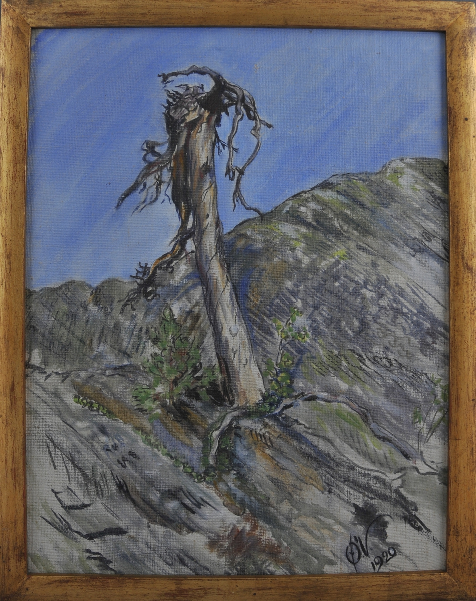 Tørrfuru på fjellet (Veggsfjell).
