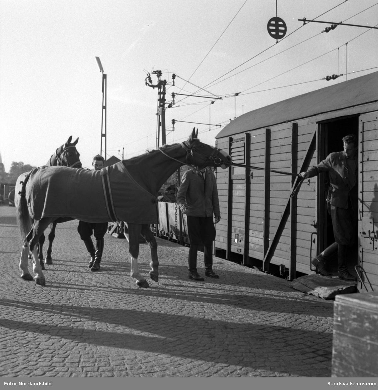 Bilder på Sundsvalls ridande polis och polishästarna, nummer fyra från vänster på första bilden är Ingemar Rindestad. Stallet låg vid Östra Långgatan på tomten där OK numera huserar (2015). Fotograferat för ett reportage i Dagens Nyheter.