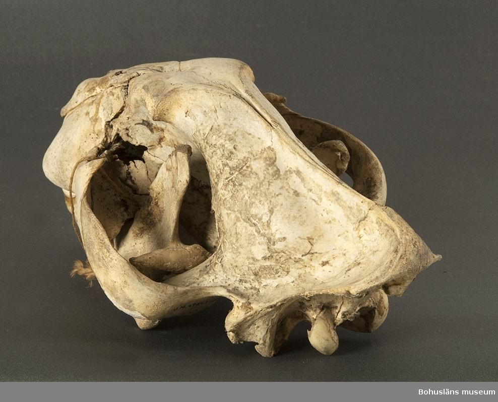Ur handskrivna katalogen 1957-1958: Tigerskinn m. kranium L. (m. huvud och svans) c:a 3,80 m; huvudet uppstoppat, m. vidöppet gap; skinnet undertill fodrat med ljust brunt bomullstyg. På några mindre fläckar har håret fallit av. b) I-II Mått (käkarna hopbundna): 39 x 23 x 18 cm; ett par tänder har fallit ut; för övrigt helt.  UM004934a Tigerskinn med huvud UM004934b Tigerkranium