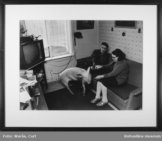 Makarna Lisa och Tage Andersson har en tam gris som husdjur. Dingle november 1972.