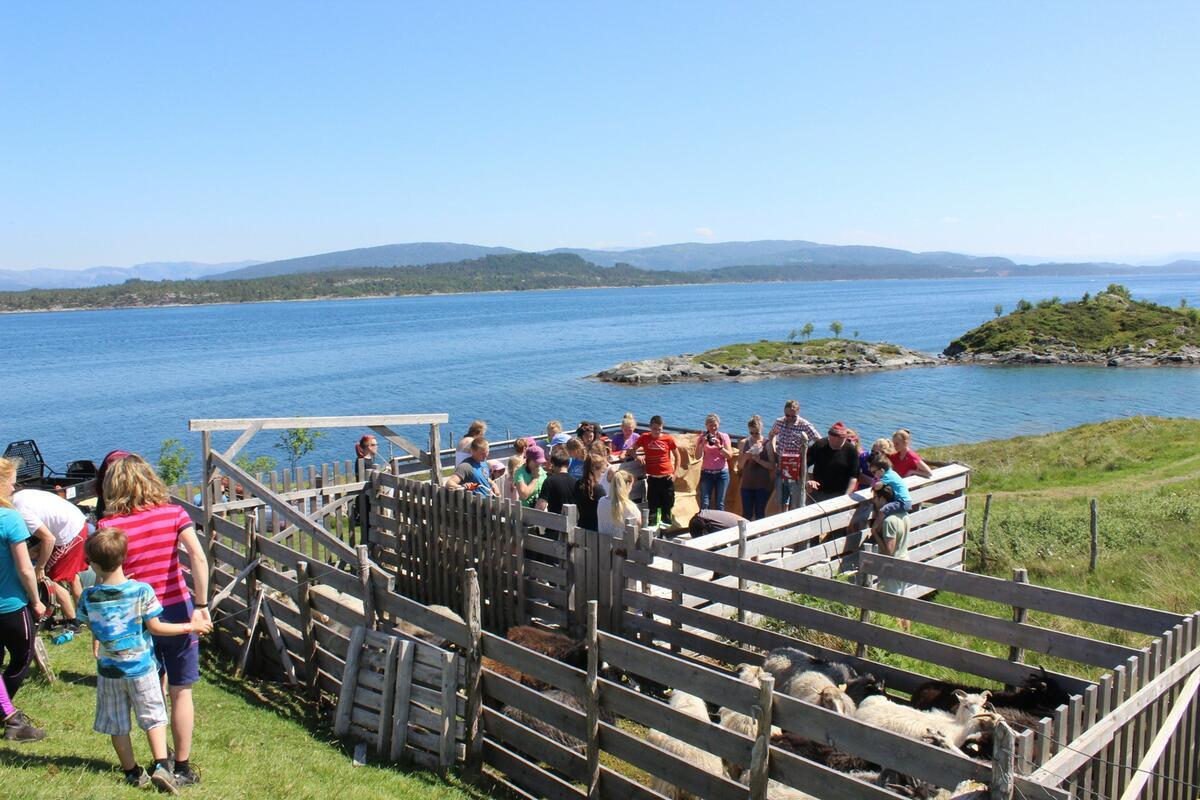 sauesanking: sauar i båsar med folk rundt, sjø i bakgrunnen (Foto/Photo)