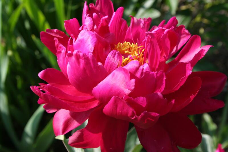 Paeonia lactiflora Nordkisa rød (Foto/Photo)