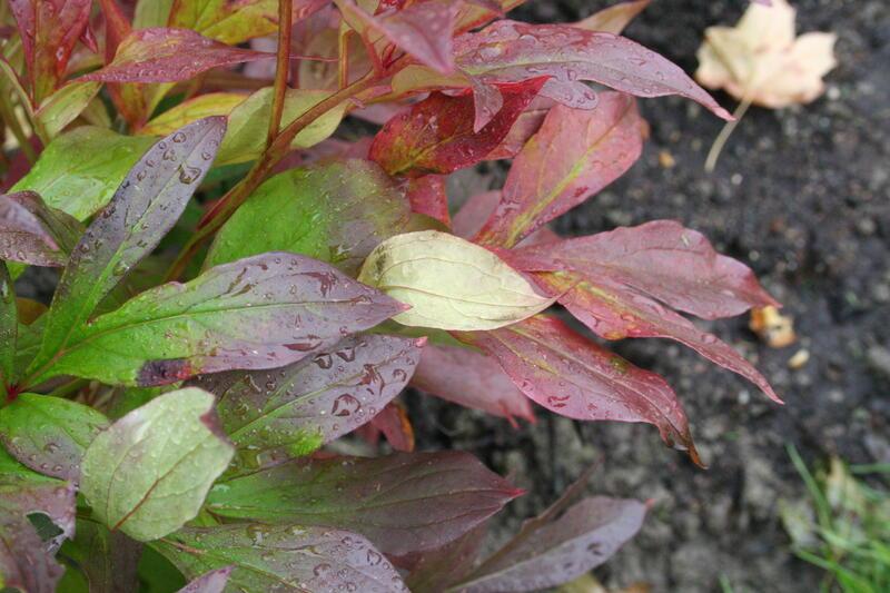 Paeonia lactiflora 'Mme Furtado' (Guérin 1856) (Foto/Photo)