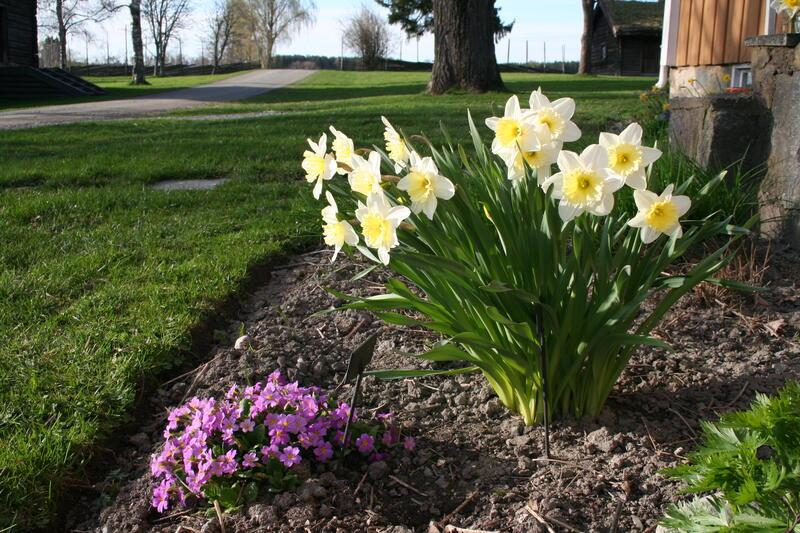 Narcissus 'Ice Follies' (Foto/Photo)