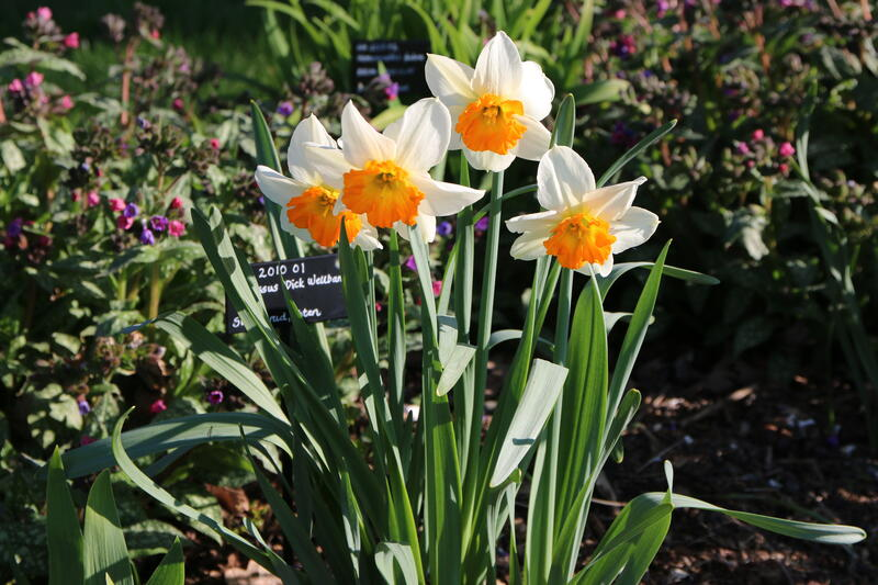 Narcissus 'Dick Wellband' (Foto/Photo)