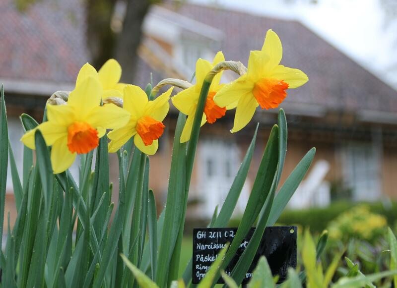Narcissus 'Red Cross'? (Foto/Photo)