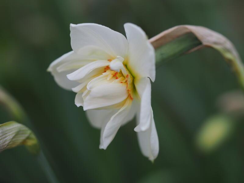 GH 2008 29 Narcissus poeticus 'Plenus' (Foto/Photo)