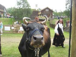 150-års jubileum for Dølafeet. 1) Dølakua Ramona. 2) Rørosku