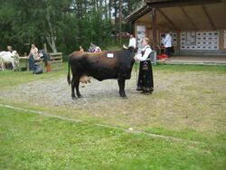 150-års jubileum for Dølafeet. 1) Dølakua Ramona. 3) Dølakua