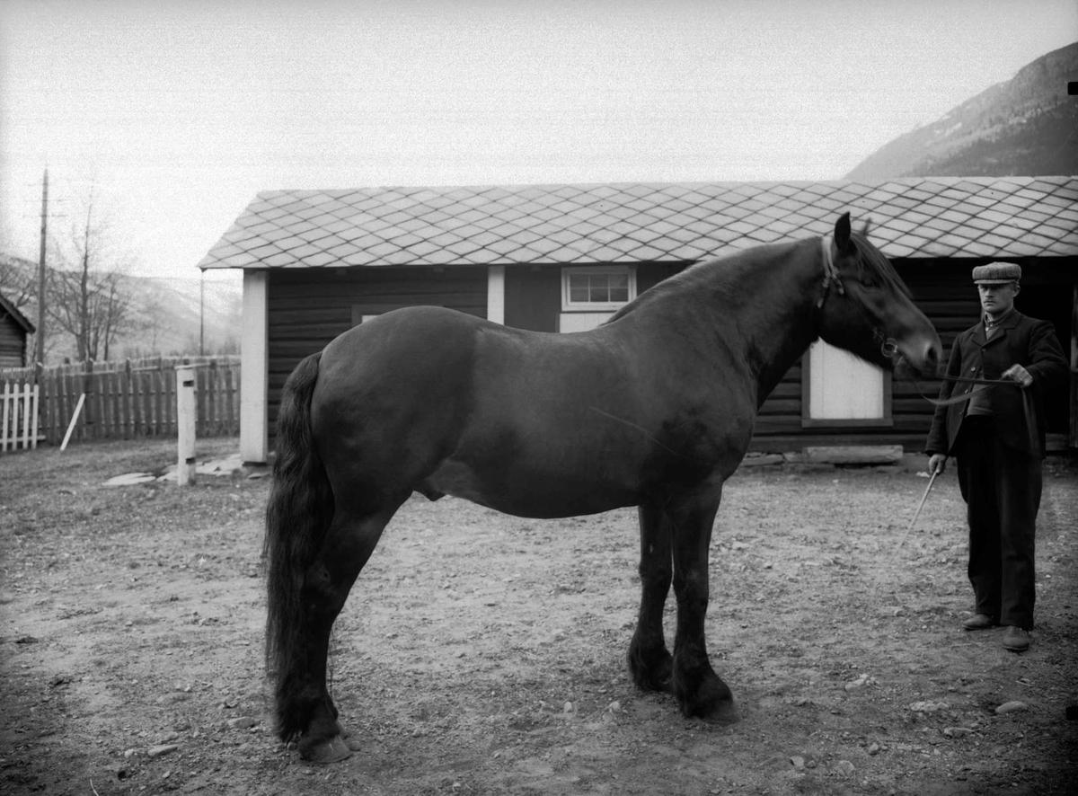 """26.04.1907. Hesten """"Dølaruggen"""". Olof Forbregd"""