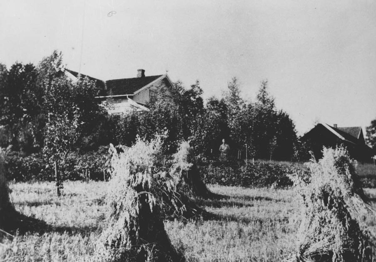 Midsem gård med korn i rauk på jordet.