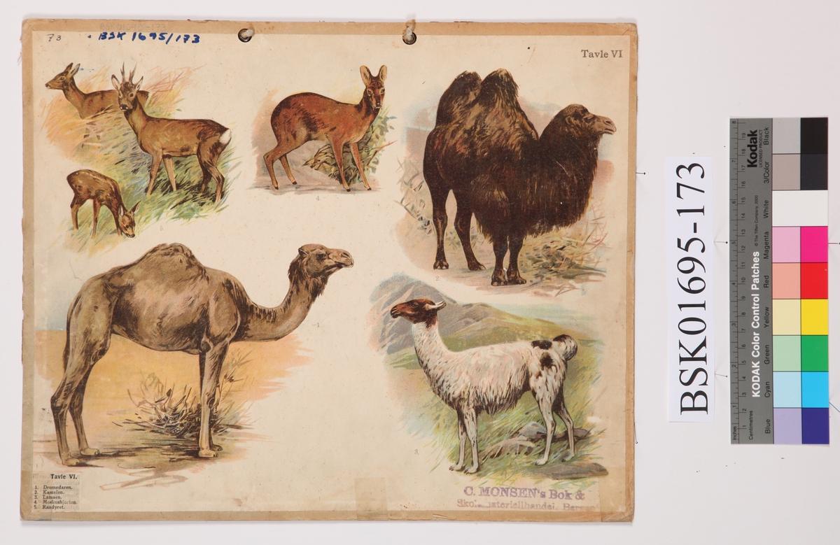 Skoleplansje med motiv -   Dromedar, Kamel, Lama, Moskushjort og Rådyr på den ene siden. På den andre siden motiv - kronhjort, reinsdyr, elg pg giraff.