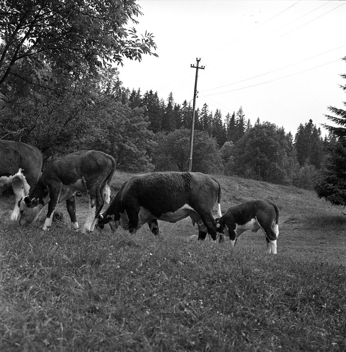 Ullevålseter, Oslo, 18.07.1964. Kuer og kalver på beite.
