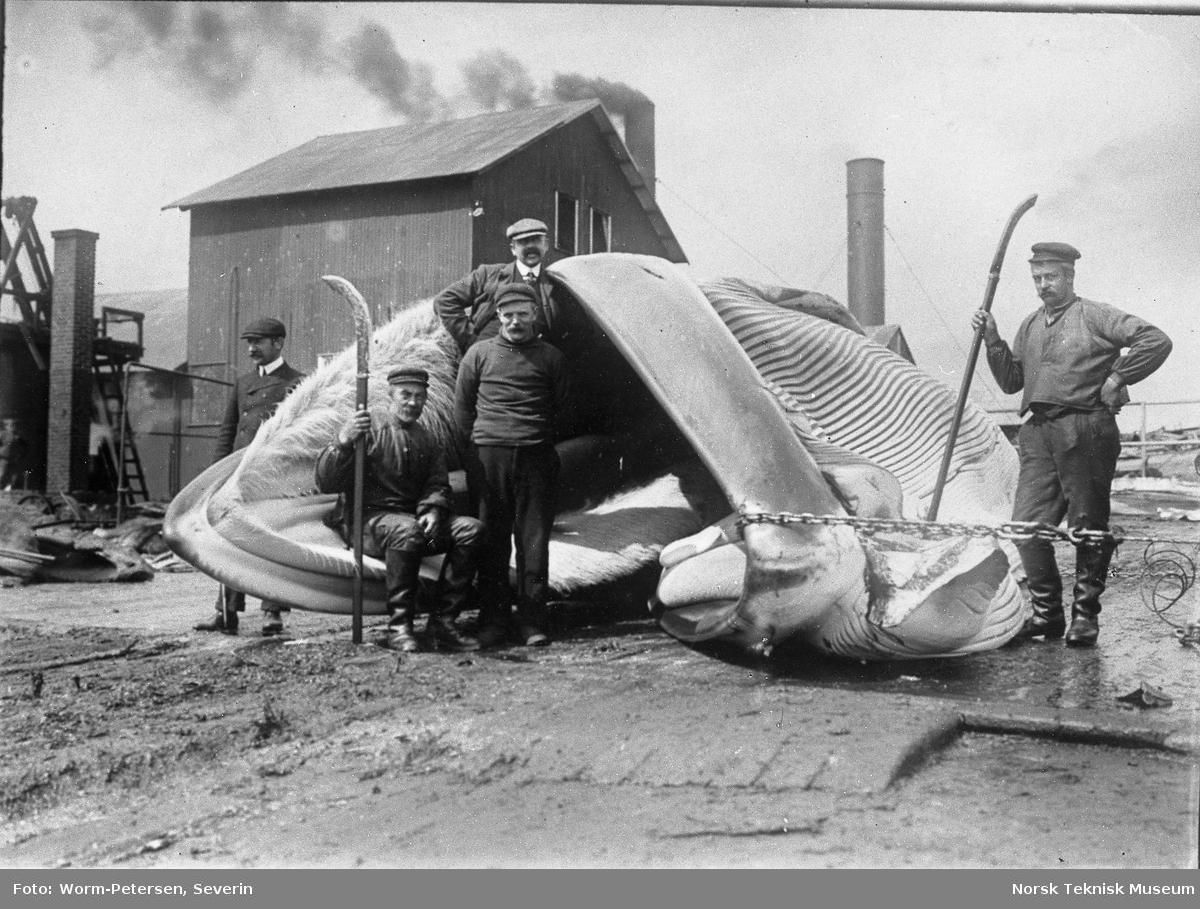 Hvalfangst, partering av hval ved fangststasjon Spitsbergen, sommeren 1906