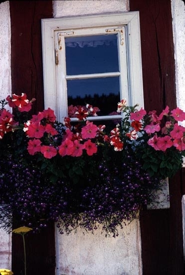 Petunia och lobelia planterat utomhus i kruka