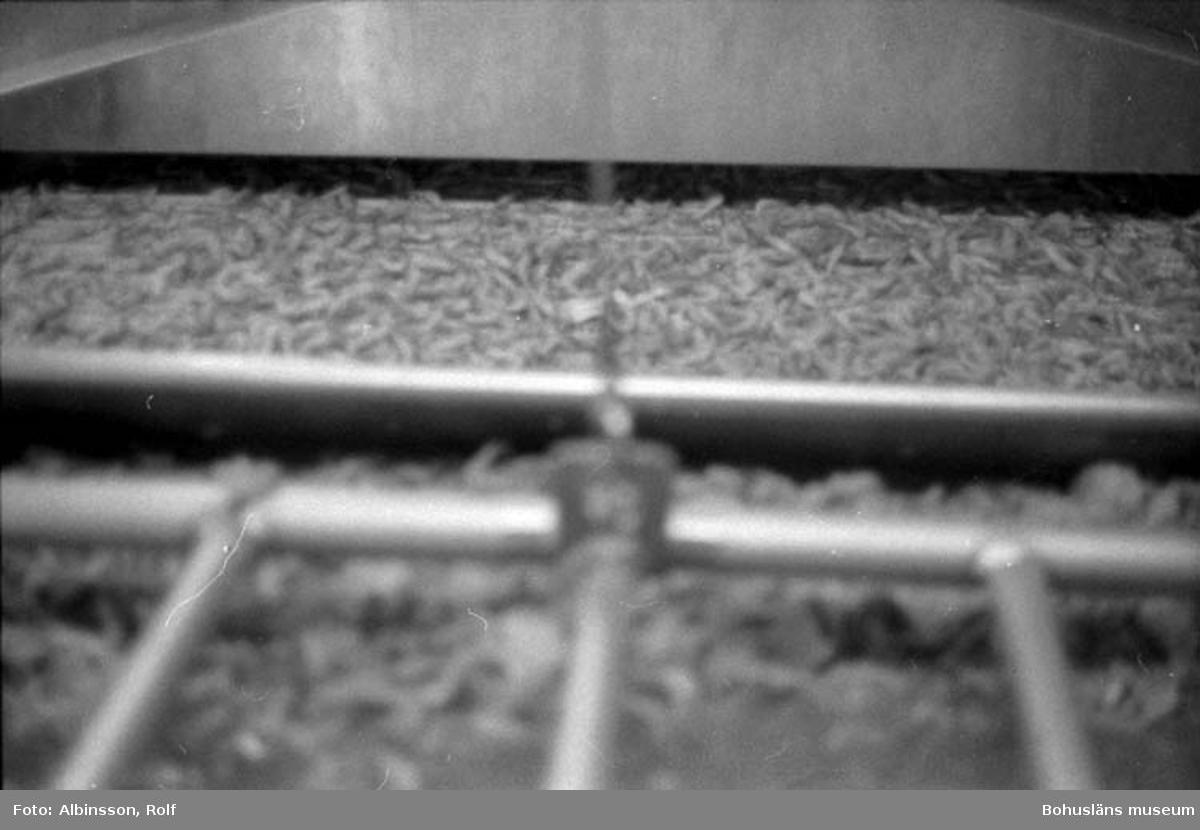 """Enligt fotografens noteringar: """"Råräken fylls på i förgrunden och vaggas sakta uppåt in i maskinen där de kokas i 2 minuter."""" Fototid: 1995-11-02."""