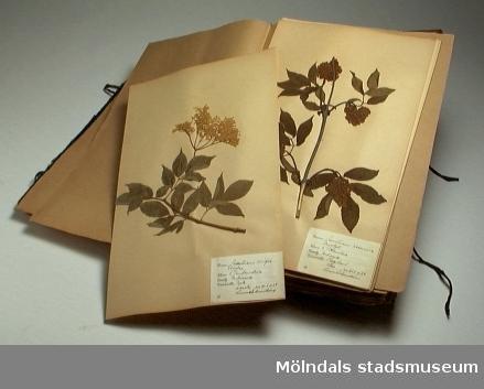 Herbariepärm med torkade och pressade växter. Växterna samlades in och pressades 1939 av Gunnel Samelius, f. Eweström. Växterna är indelade efter familj och ligger limmade på papper i buntar.