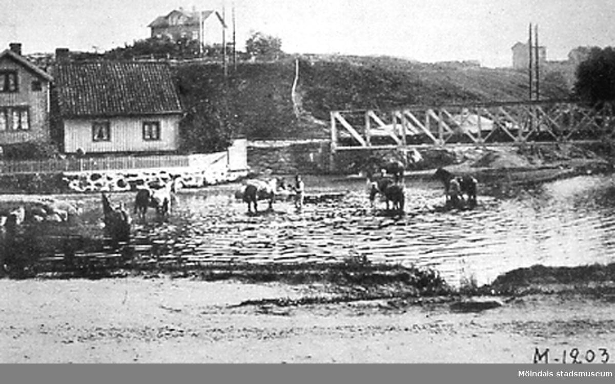 Hästar badas vid Grevedämmet.