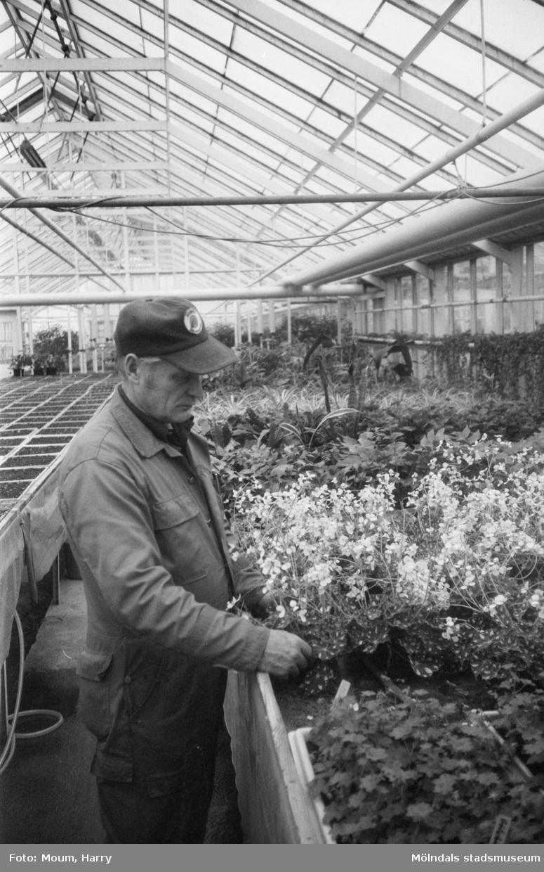 """Kommunens växthus vid Gamla Riksvägen i Rävekärr, Mölndal, år 1983. """"Harry Andersson sköter blommorna i kommunens växthus. Men hur blir det i fortsättningen?""""  För mer information om bilden se under tilläggsinformation."""