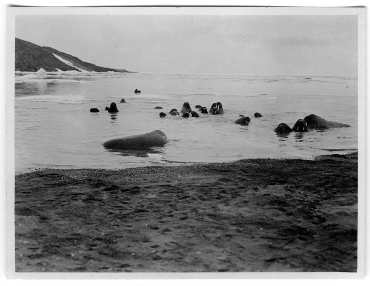 'Valrossar i vattnet nära strand. ::  :: Ingår i serie med fotonr. 1579-1585.'