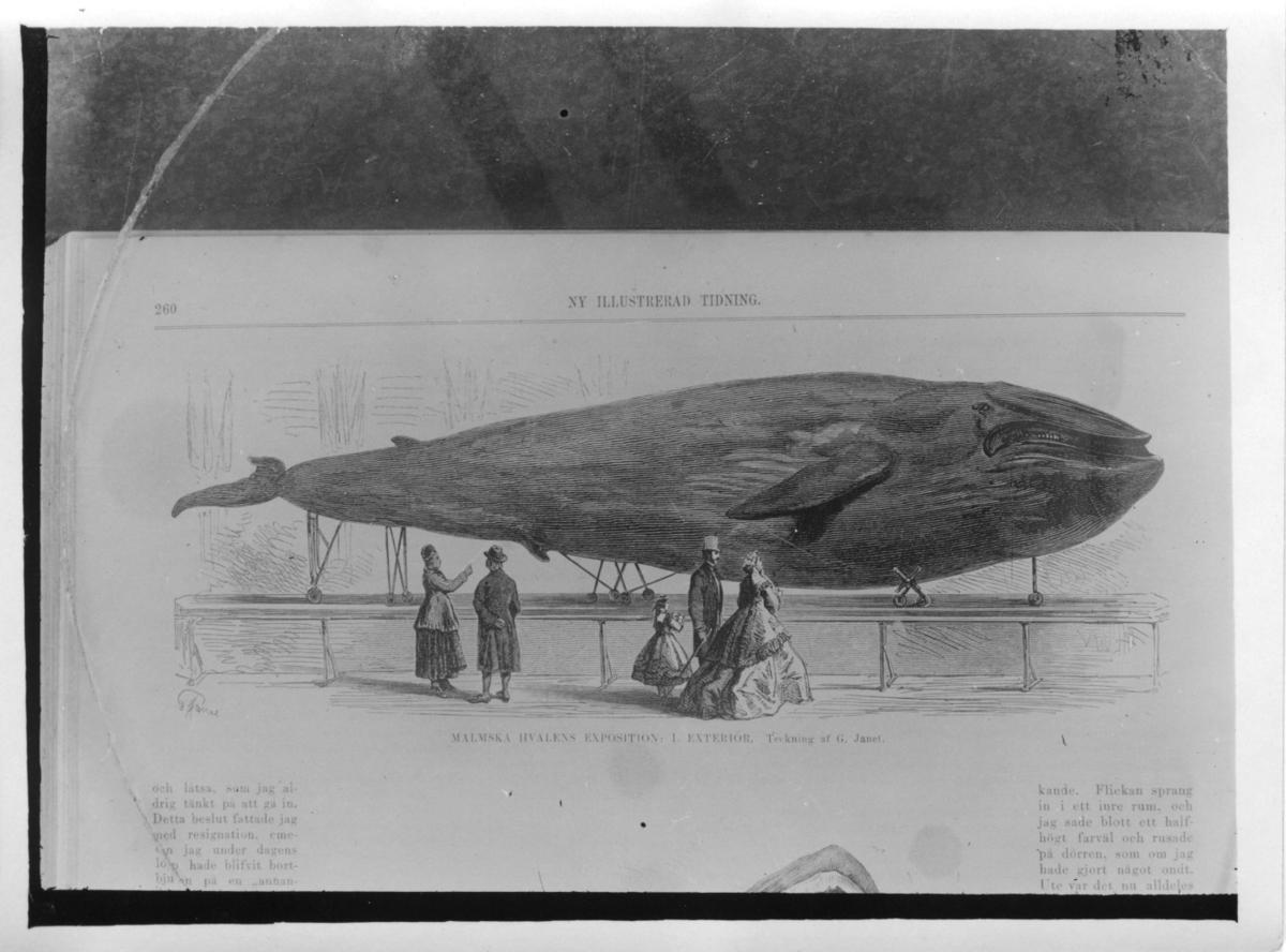 '''MALMSKA VALEN''. Avfotografering av en bild i ''Ny illustrerad Tidning, 1866, s.266. :: Valen sedd från sidan.'