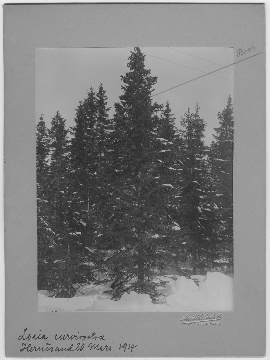 'Mindre korsnäbb, boplats i gran. Vy med granskog. ::  :: Enligt bildtext: (8 m och 52 cm till trädets fot. 1 m och 52 cm kamerans höjd från marken.) Hela trädet avsågat 5 meter över marken. ::  :: Fynddatum: 1914-03-20.'