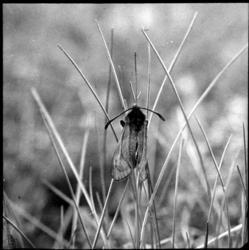 Zygaenidae sp.