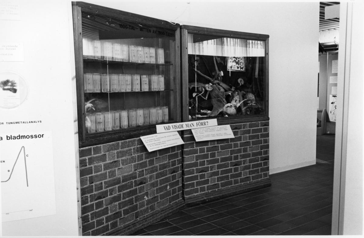 'Foto på Jubileumsutställningen, Göteborgs Naturhistoriska museum 150 år. ::  :: Vy över utställningsmonter ''vad visade man förr? 1800-tal - mitten av 1900-talet'', spindelsaml, Arachn, litengasell 7569 + ormskin,  Gems 30-5207, Apskelett Coll.au. 1898, liten apa Coll.au. 42, Sågfisk 2x Gen.kat 79-15.229 + Coll.au. 10.250, svinskalle privat, människoskalle privat, en del fågelägg, snäckor, fjärilar, rådjursfot, skorpion, hov, delar av sköldpaddskal m.m.'
